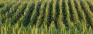 Interpreting High-Yield Outlooks for the 2020 U.S. Corn Crop