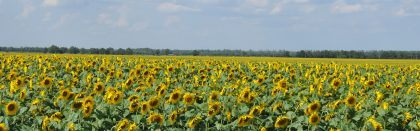 Volga Baikal AGRO News Update on Russian Agriculture Sunflower Production by 2024 !!!