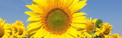 Volga Baikal AGRO NEWS Update on the Russian Sunflower Price Development !!!