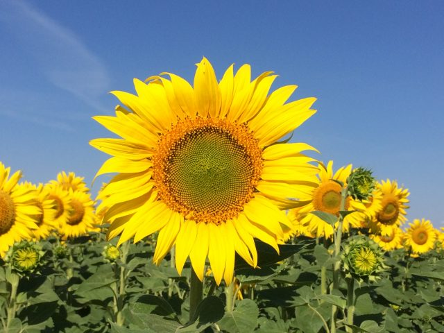 Volga Baikal AGRO NEWS Update on Sunflower Seeding in Ukraine !!!
