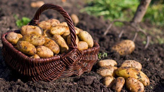 Volga Baikal AGRO News Update on Russian Agriculture: Potato Production Expected to Decrease in 2020 !!!