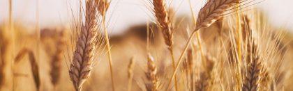 Volga Baikal AGRO NEWS Update on the Wheat Export Forecast !!!