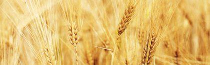 Volga Baikal AGRO NEWS Update on Russian Grain Situation !!!