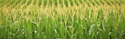 Volga Baikal AGRO NEWS Update on the International Corn Sales !!!