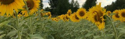 Volga Baikal AGRO NEWS Update on the Prospects for the Development of the Sunflower Industry !!!